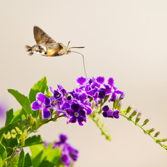 hummingbird hawk-moth hovering over a flower (Macroglossum stell
