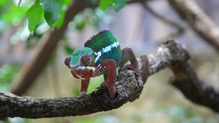 Chameleon with a bright color sits on a branch and rolls eyes lo