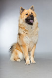 Young Eurasier dog. Sitting. Total shot. Studio shot isolated