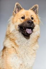 Young Eurasier dog. Closeup shot. Studio shot isolated