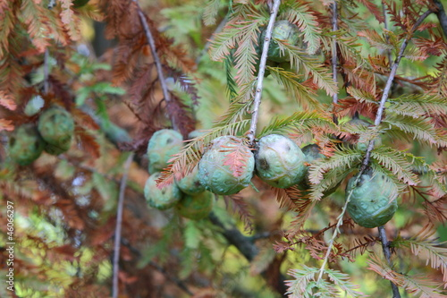Bald Cypress (Taxodium distichum) - Cones and leaves