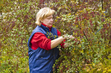 Woman in a garden collects barberry