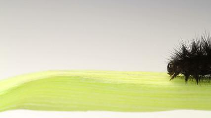 black caterpillar crawling. closeup