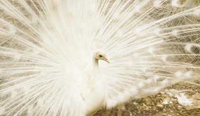 White peafowl