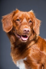 Beautiful and cute toller dog isolated on grey background.