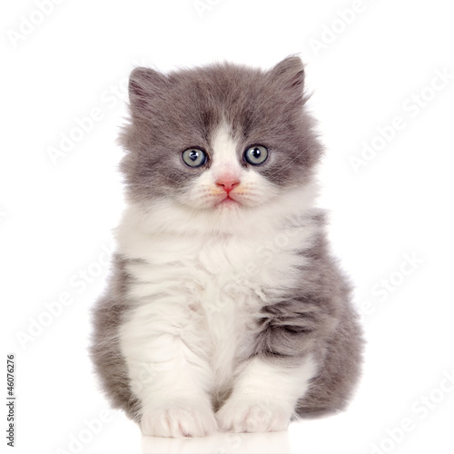 Beautiful angora kitten with gray and soft hair