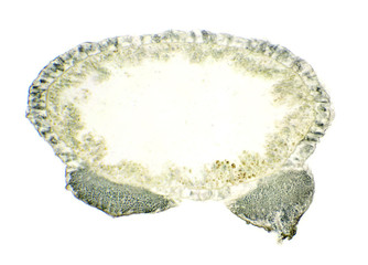Hydra under the microscope, background