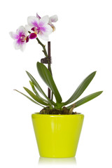 Little orchid in a green pot