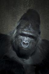 gorilla low key