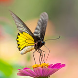 Golden Birdwing Butterfly sucking Zinnia nectar