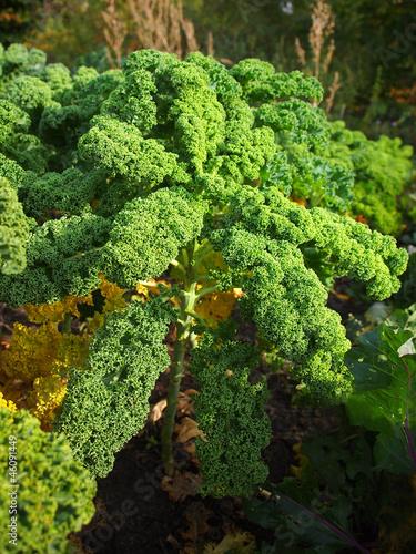 Grünkohl im Garten