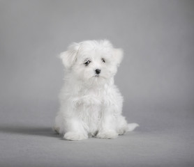 Maltese dog puppy
