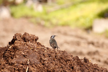 Starling and manure