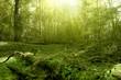 Fototapeten,wald,baum,bäume,pflanze