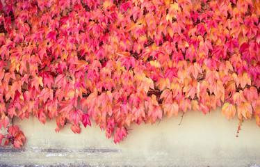 Hauswand bedeckt mit roten Blättern