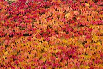 Wand bedeckt mit roten und gelben Blättern von Wildem Wein