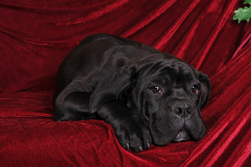 Cane corso puppy portrait lying