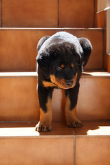 Rottweiler puppy and stairs
