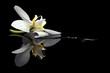 Fototapeten,orchid,blühen,blume,blütenblätter