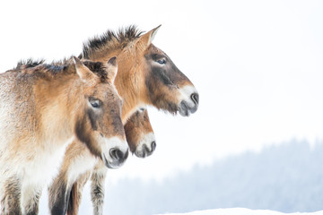 Bavarian wild horses in winter