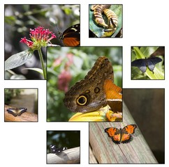 Collage - Tropical butterflies