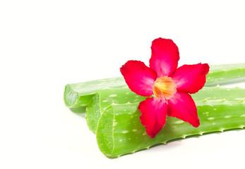 Aloe vera and adenium flower.