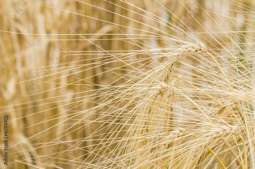 Hordeum distichon, barley, spikes - 46114402