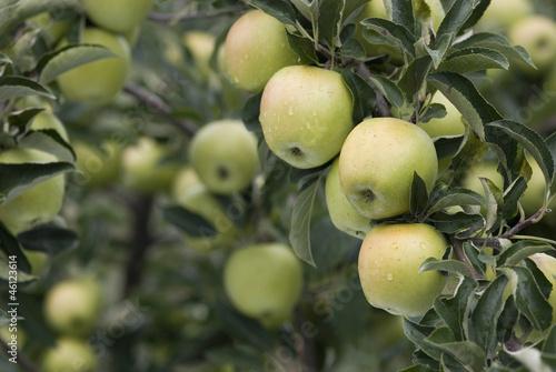 Abundance of apples