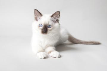 ragdoll kitten on colored background