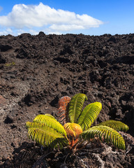 Lonely Plant on a Lava Field in Hawaii