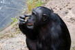 Chimpanzee scraching