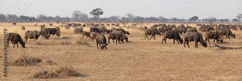 Foto op Plexiglas Buffel Wild African Buffalo