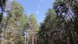 clouds behind the trees in the forest (Time Lapse)