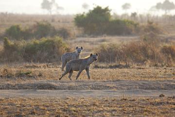 Hyena in sunrise