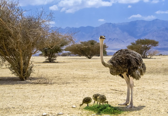 Female of African ostrich and its chicks