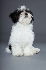 Cute black and white boomer dog isolated on grey background.