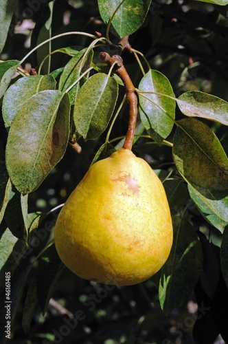 Pear ripening on tree © Arena Photo UK