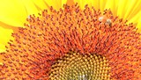macro of bee on sunflower,HD Clip.