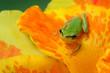 Little hyla tree frog on a yellow flower