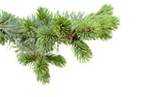 Fototapety fir tree
