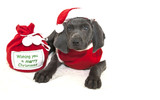 Santa Weimaraner Puppy poster