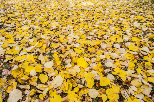autumnal linden foliage on the ground