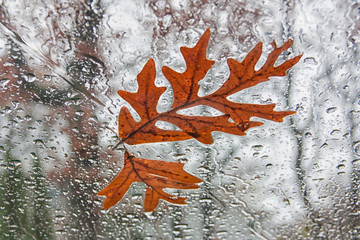 Fallen Oak Leaves on Windshield