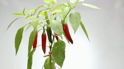 red hot chili red hot chili