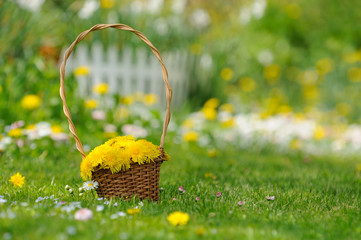 Basket of Yellow Dandelion Flowers in the Garden
