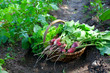 basket with fresh radishes