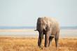 African elephant on open plains, Etosha N/P