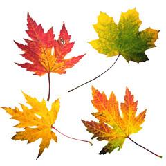 Herbst: Vier bunte, freigestellte Blätter