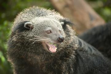 Rare and amusing animal of binturong .