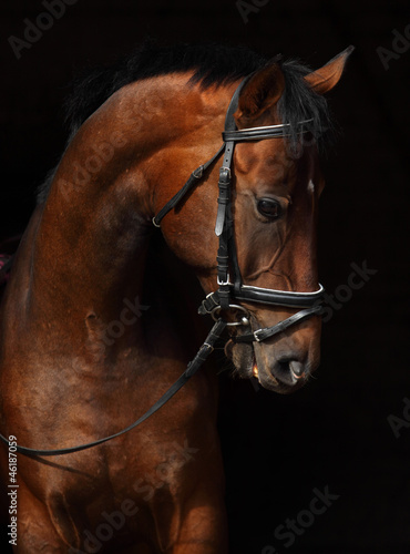Foto op Canvas Paarden Bay Trakehner Horse with classic bridle